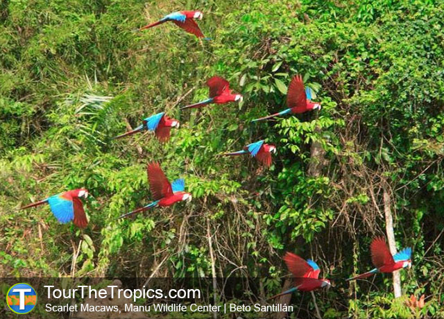 Scarlet Macaws, Manu Wildlife Center, Peru