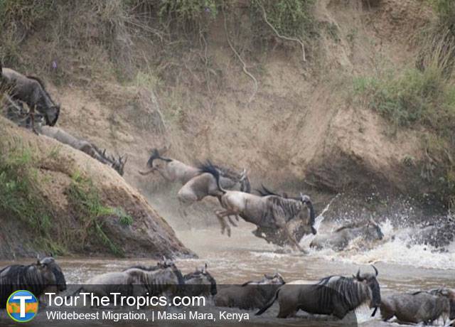 Wildebeest Migration - Wildlife Sightings in the Tropics