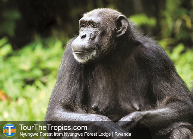 Chimpanzee - Wildlife Sightings in the Tropics