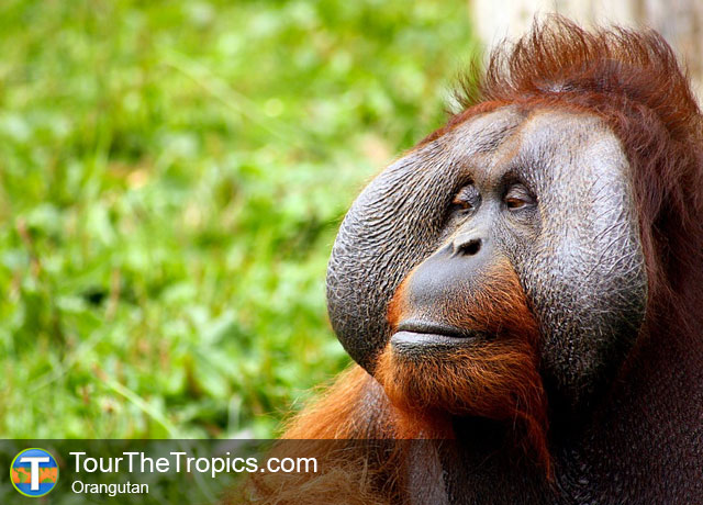 Orangutan - Wildlife Sightings in the Tropics