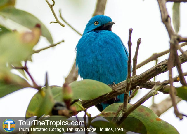 Plum Throated Cotinga - Iquitos Reserves