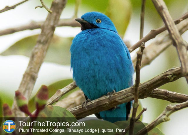 Plum Throated Cotinga, Tahuayo River, Peru