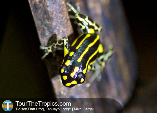 Poison Dart Frog, Tahuayo Lodge - Jungle Lodges Peru