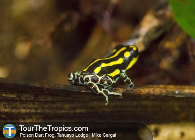 Best Places to Visit in Peru - Poison Dart Frog, Tahuayo Lodge, Iquitos, Peru