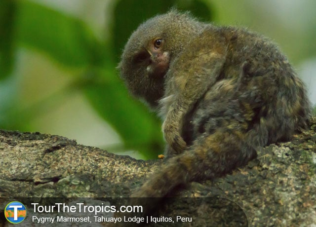 Pygmy Marmoset - Things to do in the Amazon Rainforest