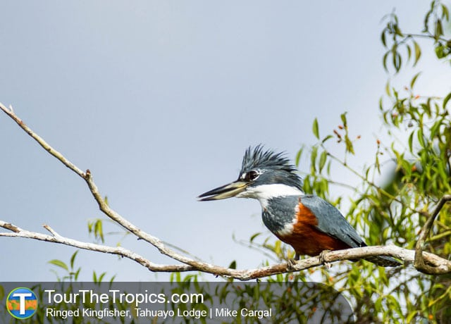 Ringed Kingfisher, Tahuayo Lodge, Iquitos, Peru