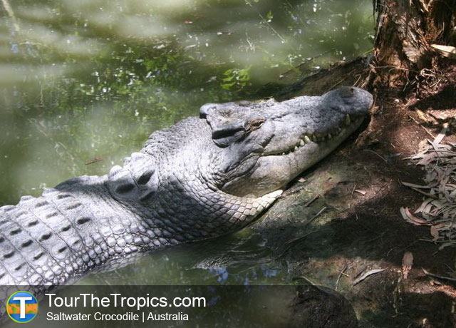 Saltwater Crocodile - Wildlife Sightings in the Tropics