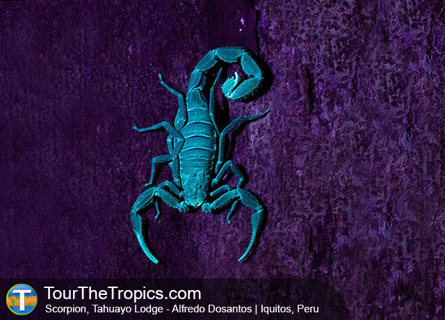 Scorpion - Things to do in Peru