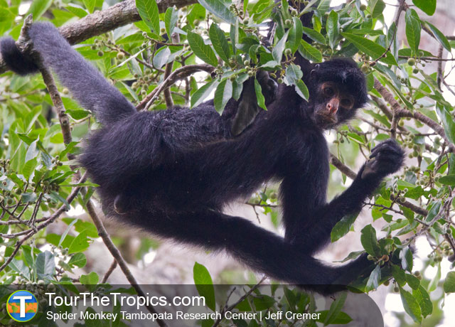 Spider Monkeys, Tambopata National Reserve, Peru