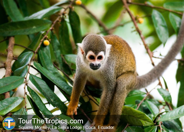 Squirrel Monkey, La Selva Lodge, Peru