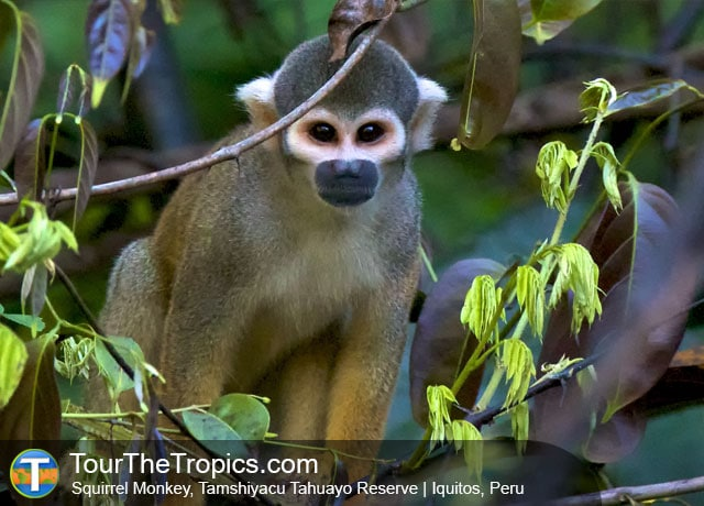 Squirrel Monkeys, Tahuayo Reserve, Iquitos, Peru