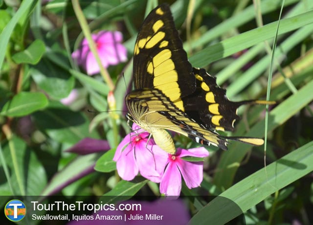 Swallowtail - Allpahuayo Mishana National Reserve