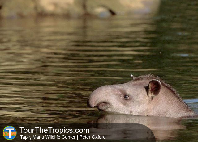 Tapir, Manu Wildlife Center, Peru