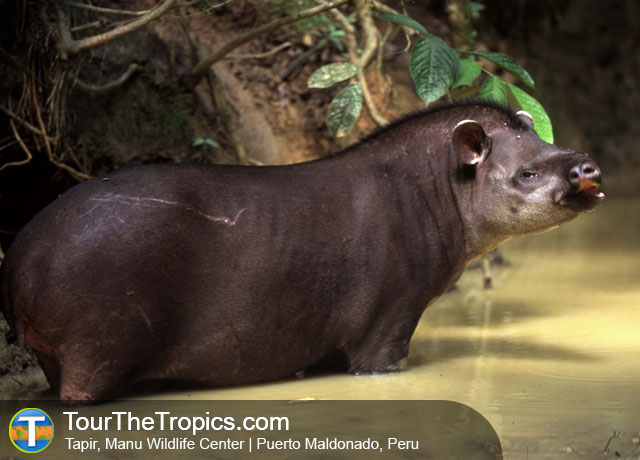 Tapir, Manu Wildlife Center - Manu National Park