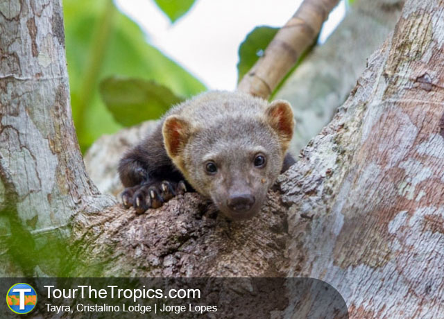 Tayra - Amazon Rainforest