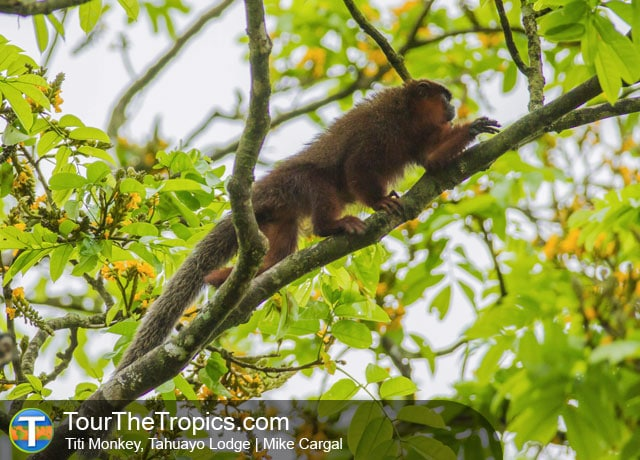 Titi Monkey - Wildlife Sightings in the Tropics
