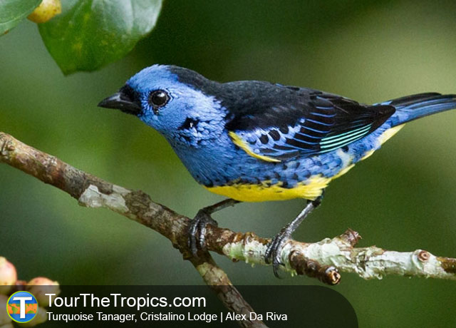 Turquoise Tanager Seen While Birding in the Brazilian Amazon from Cristalino Lodge