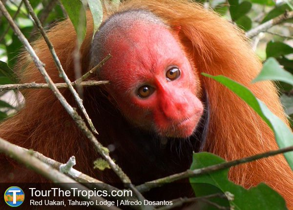 Uakari - Things to do in Peru