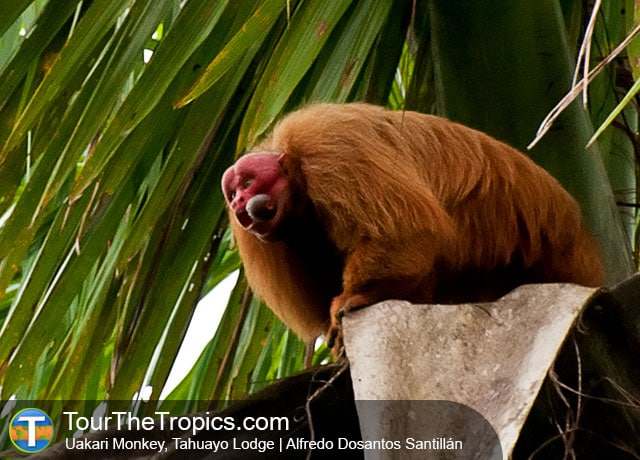 Uakari Monkey - Iquitos Reserves