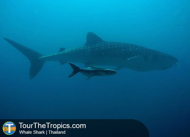 Whale Shark - Wildlife Sightings in the Tropics