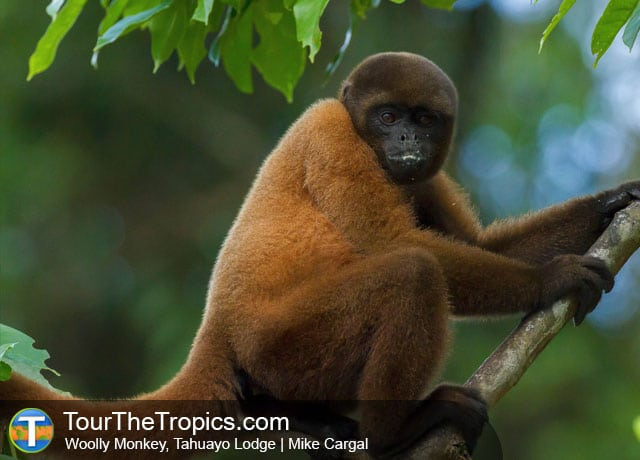 Woolly Monkey, Tahuayo Lodge - Iquitos Travel Peru