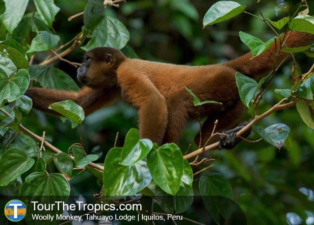 Woolly Monkey, Tahuayo River, Peru