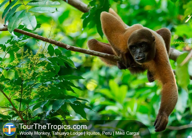 Woolly Monkey, Iquitos, Peru