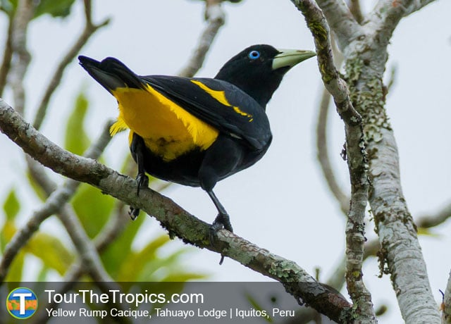 Yellow Rumped Cacique at the Tahuayo Lodge, Peru Birding