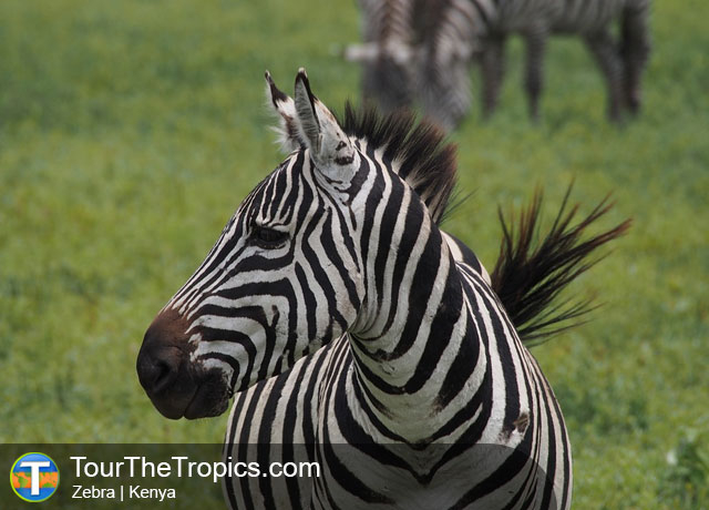 Zebra - Top Tourist Attractions in Kenya