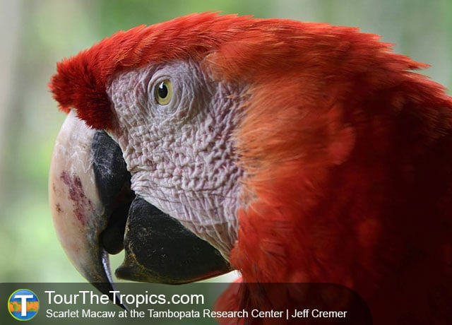 TRC Scarlet Macaw - Amazon Jungle Tours from Lima