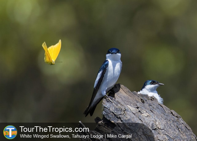 White Winged Swallows, Tahuayo Lodge, Iquitos, Peru