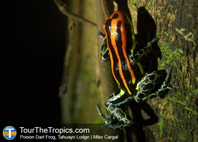 Poison Dart Frog - Amazon Jungle Tours from Lima