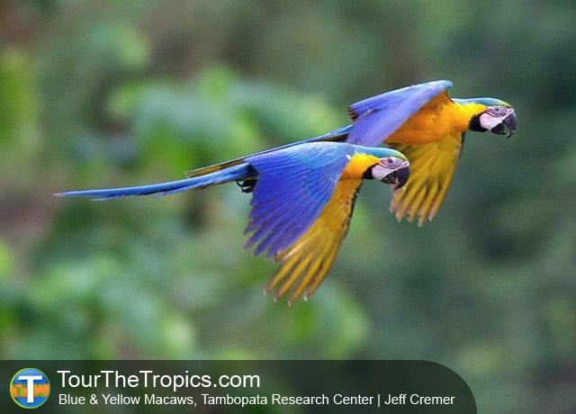 Blue and Yellow Macaws at Tambopata Research Center, Puerto Maldonado, Peru