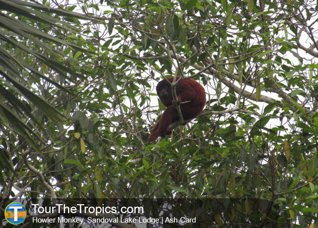 Howler Monkey, Sandoval Lake Lodge, Peru
