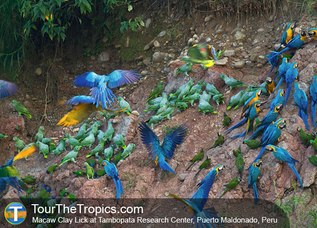 Macaw Clay Lick at Tambopata Research Center, Puerto Maldonado, Peru