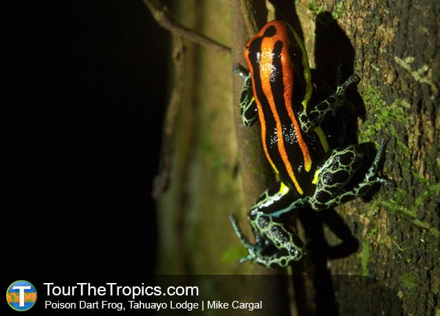 Poison Dart Frog at Tahuayo Lodge, Iquitos, Peru
