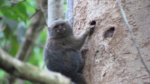 Marmoset at the Tahuayo Lodge office