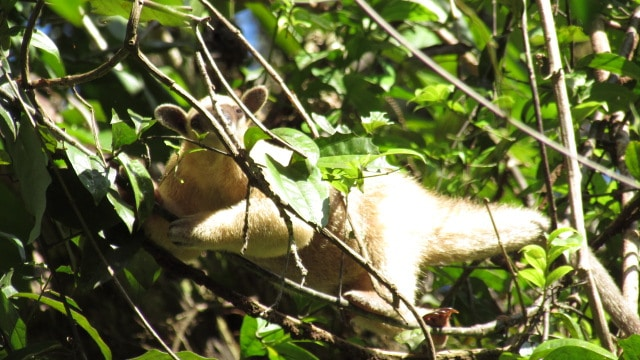Tamandua at the Tahuayo Lodge office